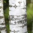 Black and white trunk of a birch tree — Stock Photo