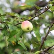 Apple hanging on a tree branch — Stock Photo