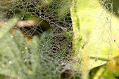 Drops on a spider web — Stock Photo