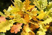 Yellow oak leaves — Stock Photo