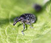 Elephant beetle — Stock Photo