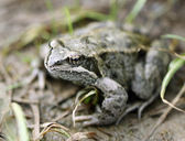 Big brown frog on forest land — Stock Photo