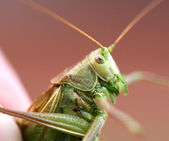 Portrait of a big green locust in the hands — Stock Photo