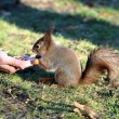 Squirrel eating nuts with hands — Stock Photo