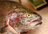 Trout fish head — Stock Photo