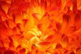 红菊花 — 图库照片