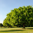 Banyan tree in the park — Stock Photo