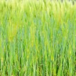Fringe of highland barley — Stockfoto