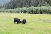 Two yak fighting on the meadow — Stock Photo