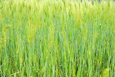 Fringe of highland barley — Stock Photo