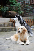 Two dogs in the yard — Stock Photo