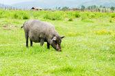 Tibetan pig — Stock Photo