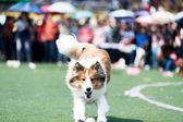 Collie dog running — Stock Photo