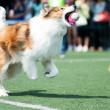 Collie dog running — Stock Photo