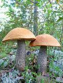 Two Beautiful boletus mushroom — Stock Photo