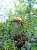 Lone mushroom boletus — Stock Photo