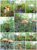 Collage mushrooms — Stock Photo