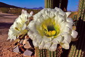 The Flowers of Golden Torch Cactus Morning View — Stock Photo