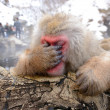 Royalty-Free Stock Photo: Japanese Snow Monkey