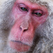 Japanese Macaques — Stock Photo