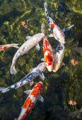 Koi Pond — Stock Photo