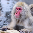 Snow Monkey Park — Stock Photo