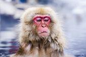 Snow Monkey Park — Foto de Stock
