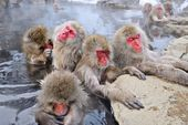 Snow Monkey Park — Photo