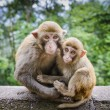 Macaques in China — Stock Photo
