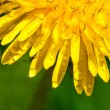 Drops of water on the yellow dandelions macro — Stock Photo