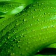 Stock Photo: Background of green leaves with drops