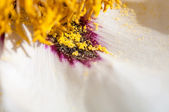 Yellow pollen spills out on white petals of the peony — Stock Photo