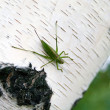 Grasshopper on the trunk of a birch — Stock Photo