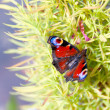 Red butterfly Peacock on a green bush — Stock Photo