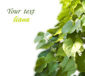 Background from the leaves of liana — Stock Photo