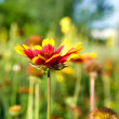 Red-and-yellow flower in the field — Stock Photo