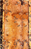 Honeycombs with bees — Stockfoto