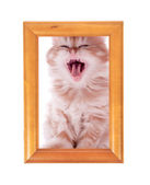 Red kitten yawns sitting at a wooden frame on a white — Stock Photo