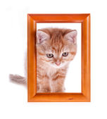Red kitten looks out from a wooden frame on a white — Stock Photo