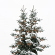 Blue spruce with two beaks, and cones with snow on branches — Stock Photo