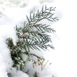 Branch of a tree thuja covered with snow — Stock Photo