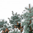Branch blue spruce trees covered with snow cones — Stock Photo #34026353