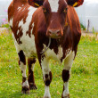 Cow brown and white on pasture — Stock Photo