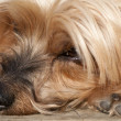 Nose Yorkshire Terrier close up — Stock Photo
