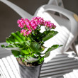 Red flower in a pot against a white watering can — Stock Photo