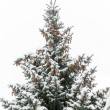Blue spruce from pine cones and snow on the branches — Stock Photo #34027069