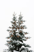 Blue spruce with two beaks, and cones with snow on branches — Stockfoto