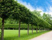 Beco de árvores verdes aparada de forma quadrada no parque — Fotografia Stock