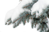 Snow lies on a branch of a blue spruce — Stok fotoğraf