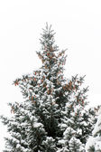 Blue spruce from pine cones and snow on the branches — Stock Photo